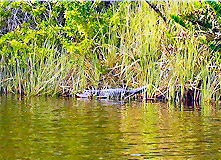 Alligator on the Peace River